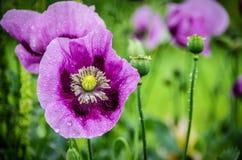 Gotas da água em flores roxas do dente-de-leão imagens de stock