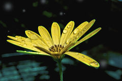 Gotas da água em uma flor amarela Fotos de Stock Royalty Free