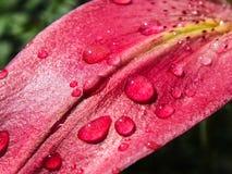 Gotas da água em uma flor do lírio Fotografia de Stock Royalty Free