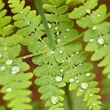 Gotas da água em uma folha da samambaia Foto de Stock Royalty Free