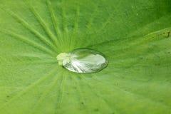Gotas da água em uma folha dos lótus foto de stock