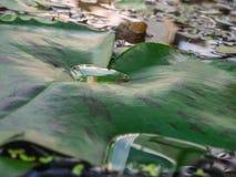 Gotas da água em uma folha dos lótus Fotografia de Stock