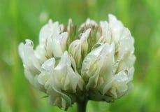 Gotas da água na flor do trevo branco, close up imagens de stock