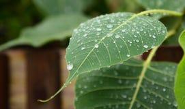 Gotas da água na folha de Phycus Foto de Stock