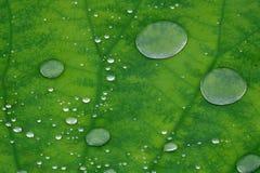 Gotas da água na folha dos lótus Imagem de Stock