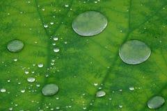 Gotas da água na folha dos lótus Foto de Stock