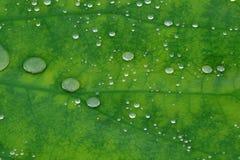Gotas da água na folha dos lótus Imagem de Stock Royalty Free