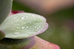 Gotas da água na folha verde. Fotos de Stock Royalty Free