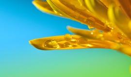 Gotas da água na pétala Fotos de Stock Royalty Free