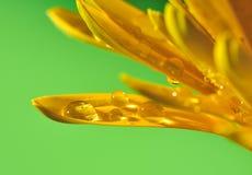 Gotas da água na pétala do gerbera Imagens de Stock Royalty Free