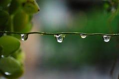 Gotas da água na videira Fotos de Stock