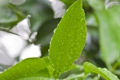 Gotas da água nas folhas Fotografia de Stock Royalty Free