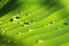Gotas da água nas folhas da banana Imagens de Stock