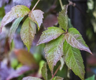 Gotas da água nas folhas das uvas Imagem de Stock