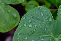 Gotas da água nas folhas verdes Foto de Stock