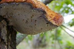 Gotas da água para o cogumelo Foto de Stock Royalty Free