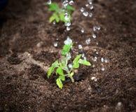 Gotas da água que caem na plântula do tomatoe Imagem de Stock