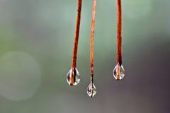 Gotas da agulha do pinho Imagens de Stock Royalty Free
