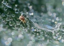Gotas da aranha e da água Fotografia de Stock