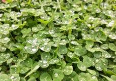 Gotas da chuva do trevo Foto de Stock Royalty Free