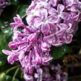 Gotas da chuva dos lilás Imagem de Stock Royalty Free