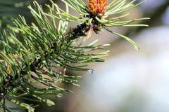 Gotas da chuva em agulhas do pinho, close up fotografia de stock