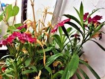 Gotas da chuva em flores doces do rosa do willium fotografia de stock royalty free