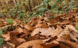 Gotas da chuva na folha Suíço Foto de Stock Royalty Free