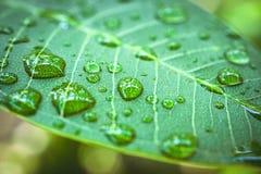 Gotas da chuva na folha verde Tiro macro Imagem de Stock