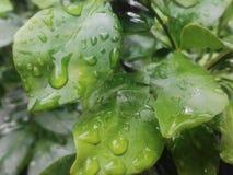 gotas da chuva na licença verde foto de stock royalty free