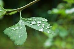 Gotas da chuva na nogueira-do-Japão Biloba Fotos de Stock