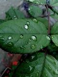 Gotas da chuva nas folhas imagens de stock royalty free