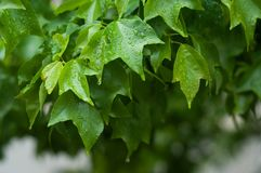 Gotas da chuva nas folhas da hera imagem de stock royalty free