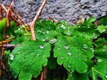gotas da chuva nas folhas verdes do celandine Imagem de Stock
