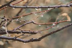 Gotas da chuva nos ramos da árvore, ele ` s que chove, s adiantado Foto de Stock