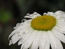 Gotas da chuva que descansam em Daisy Petals Closer Take imagem de stock royalty free