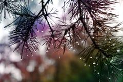 Gotas da chuva que penduram em agulhas do pinho Imagem de Stock