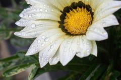 Gotas da flor Imagens de Stock Royalty Free