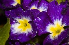 Gotas da flor e da água Fotografia de Stock Royalty Free