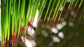 Gotas da folha e da água da palmeira Chuva tropical na manhã na praia video estoque