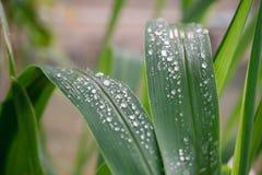 Gotas da ?gua nas folhas verdes fotografia de stock royalty free