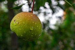 Gotas da pera da chuva que penduram na árvore Superfície escura do fundo da pera verde e molhada após a chuva fotos de stock royalty free
