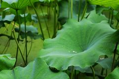 Gotas das folhas e de orvalho de Lotus fotografia de stock
