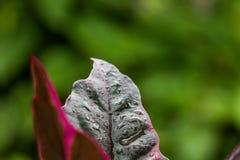 Gotas de água do close-up na folha roxa bonita foto de stock royalty free