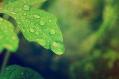 Gotas de água fresca no fim da folha acima Fotografia de Stock