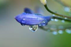 Gotas de água na flor do botão do açafrão fotografia de stock