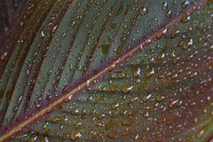 Gotas de água na folha do canna Fotografia de Stock