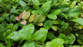 Gotas de água nas folhas Imagem de Stock