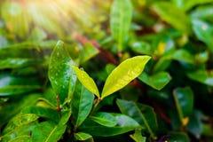 Gotas de água nas folhas Imagens de Stock