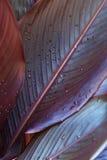 Gotas de água nas folhas do canna Imagens de Stock